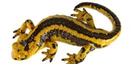значение символа саламандры