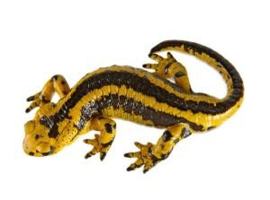 Что означает саламандра