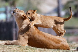 Прайд - это львиная семья