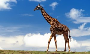 Жираф большой, ему видней